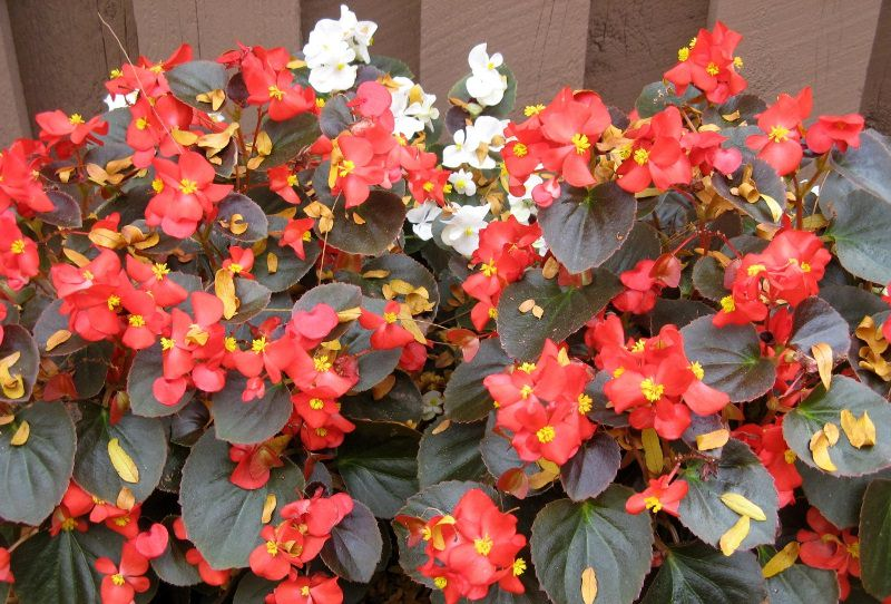 Комнатный цветок бегония наилучшим образом может развиваться в полутени