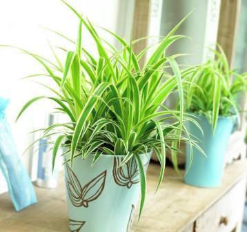 Хлорофитум - популярное комнатное растение