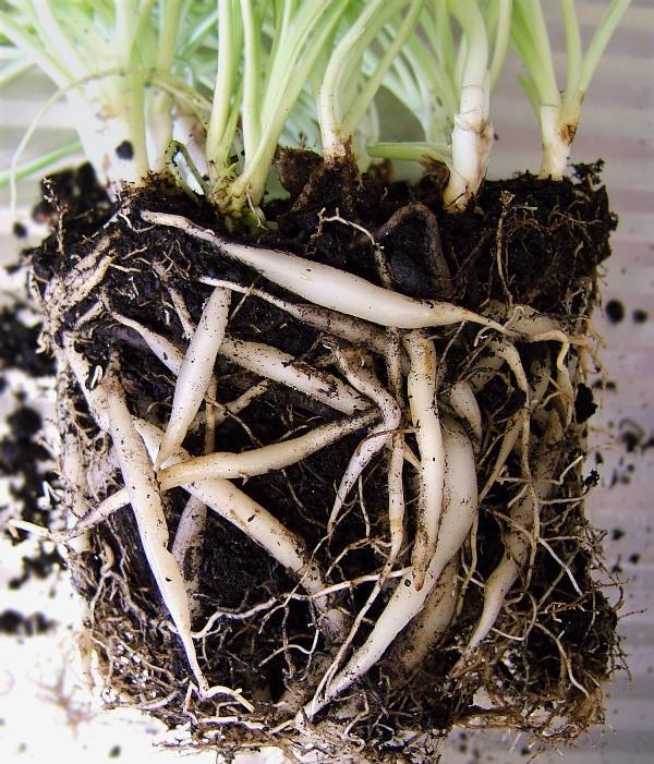 Виды растений, не дающих розетки, можно размножить путем деления материнского куста, возраст которого от 3 лет