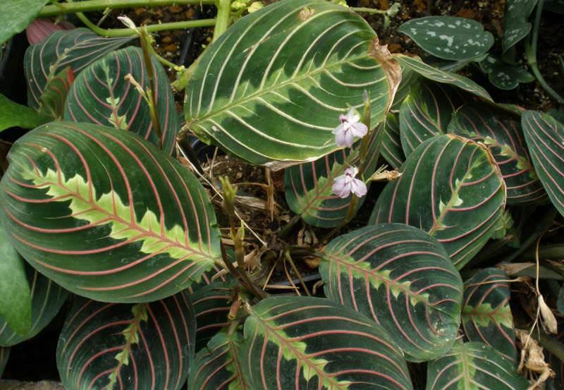 Диффенбахия Баузе (Dieffenbachia bausei)