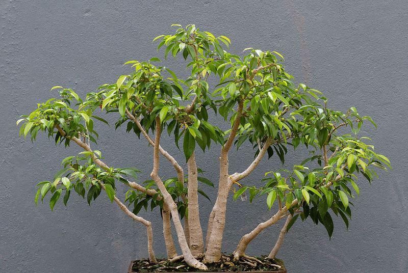 В дикой природе дивное зеленое растение достигает в высоту 20-25 м. Комнатный питомец растет гораздо медленнее