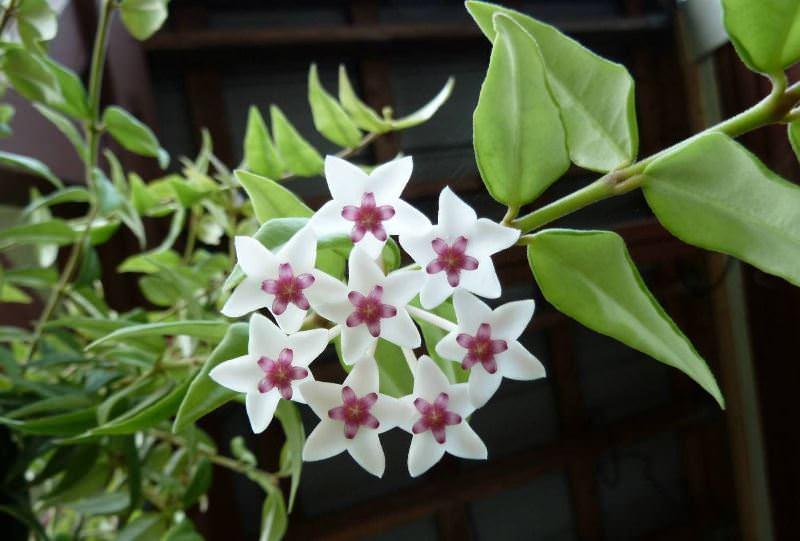 Цветок хойя почему нельзя растить дома