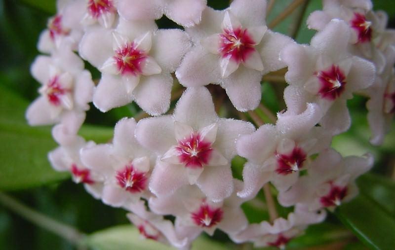 Если посуда будет достаточно тесной, все силы растения пойдут на рост побегов и цветение