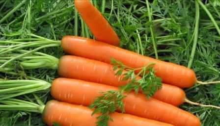 Лучше всего хранится морковь поздних сортов