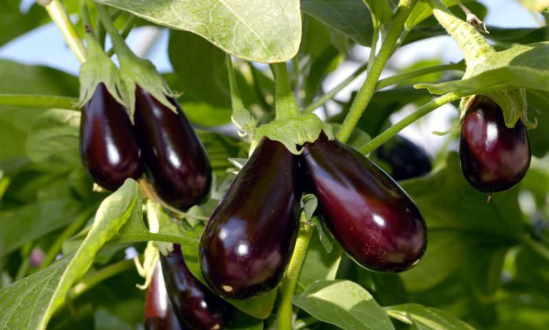 В результате прищипывания кусты перестают идти в рост, и все питательные вещества баклажаны направляют на вызревание плодов