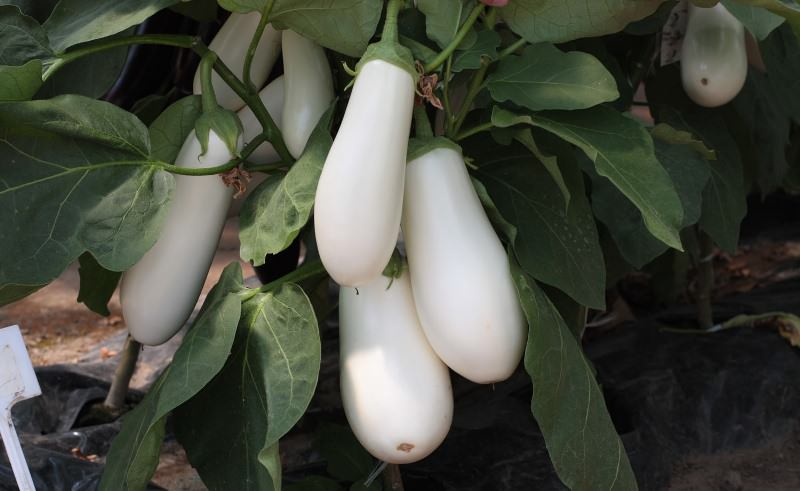 Если баклажаны выращиваются в открытом грунте, но нет возможности обеспечить регулярные полив и уход, то нижнюю листву оставляют