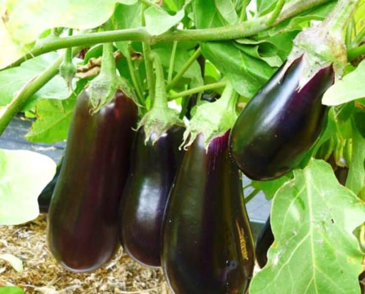 Если же баклажаны формируют в несколько стволов, то подобная процедура позволяет получить с каждого растения достаточно большой урожай