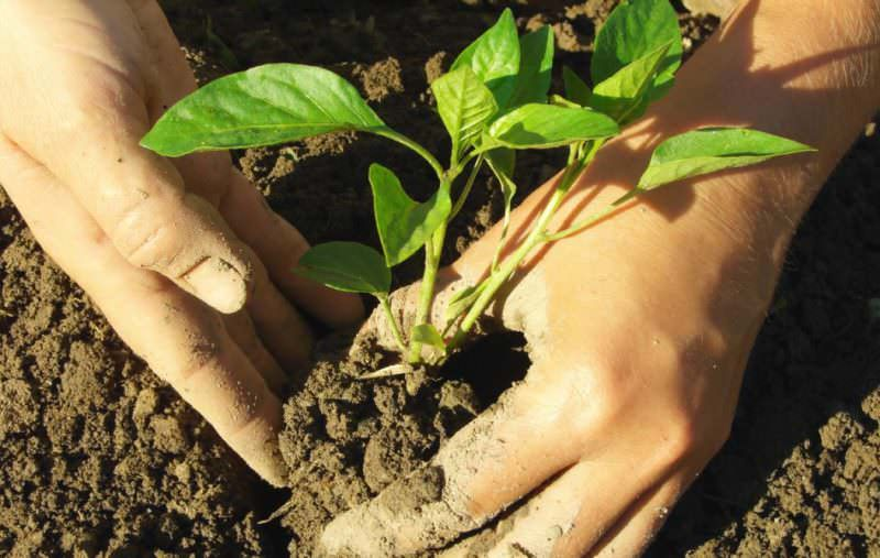 Нельзя слишком долго растить сеянцы в домашних условиях – переросшая рассада слишком долго приживается в открытом грунте