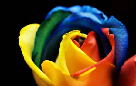 Радужная роза очаровывает людей своей красотой