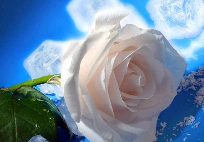 Белая голландская роза станет прекрасной основой для творчества