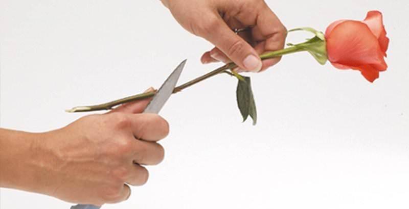 С помощью ножа аккуратно расщепите нижнюю часть стебля розы на несколько частей