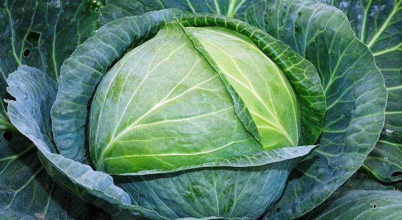 Капуста Слава – среднеспелый сорт с вегетативной фазой до 160 дней, дает кочаны весом до 4 кг