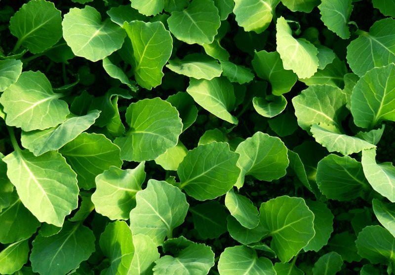 Основной метод выращивания капусты в Сибири — рассадный