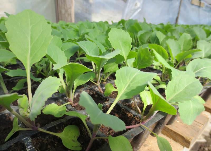 Для выращивания рассады цветной капусты используют отдельные небольшие горшочки