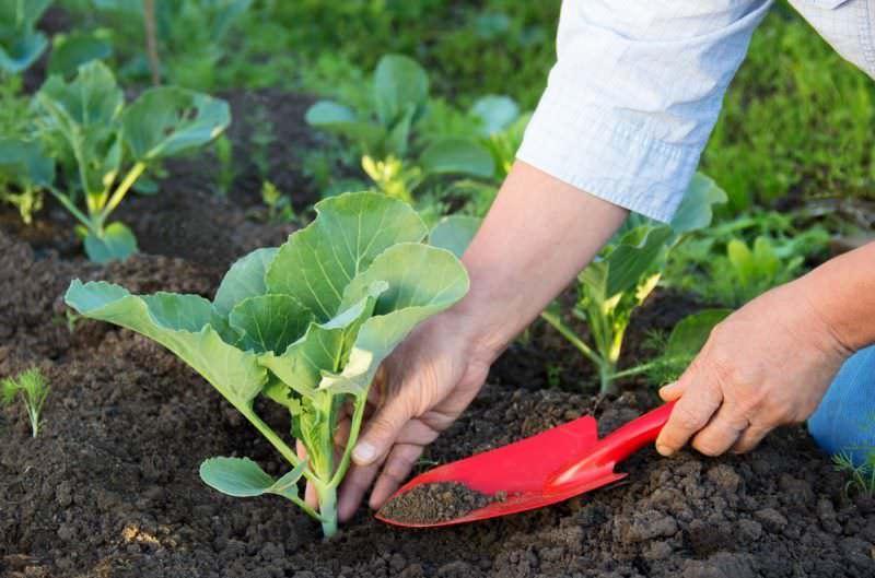 Уход за сеянцами заключается в контроле искусственного освещения и умеренном поливе