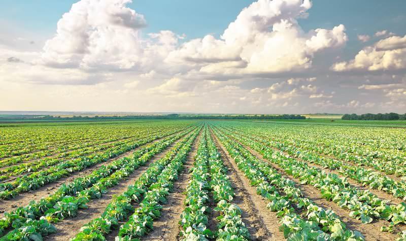 Сбор урожая обычно приходится на октябрь