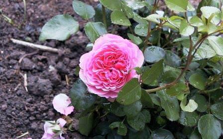 Розу Леонардо да Винчи достаточно часто можно встретить в садах нашей страны