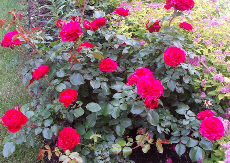 Розы Леонардо да Винчи предпочитают плодородные, рыхлые, слабокислые почвы, поэтому желательно выбирать грунты в виде черноземов или суглинков