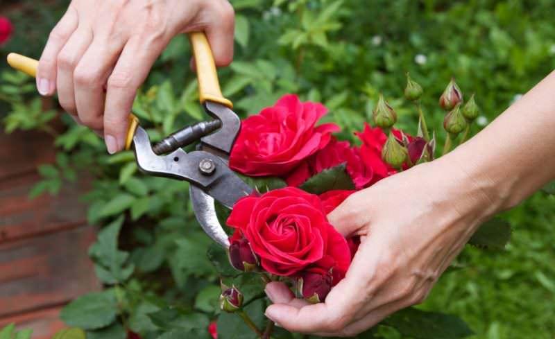 Для того, чтобы цветение не прерывалось, надо регулярно удалять отцветшие бутоны, чтобы они не отнимали у растения силы, требующиеся для формирования новых