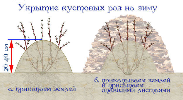 Рекомендуется укрывать кусты розы Глория Дэй относительно простым способом: высоко окучивать кусты и засыпать их сухими листьями