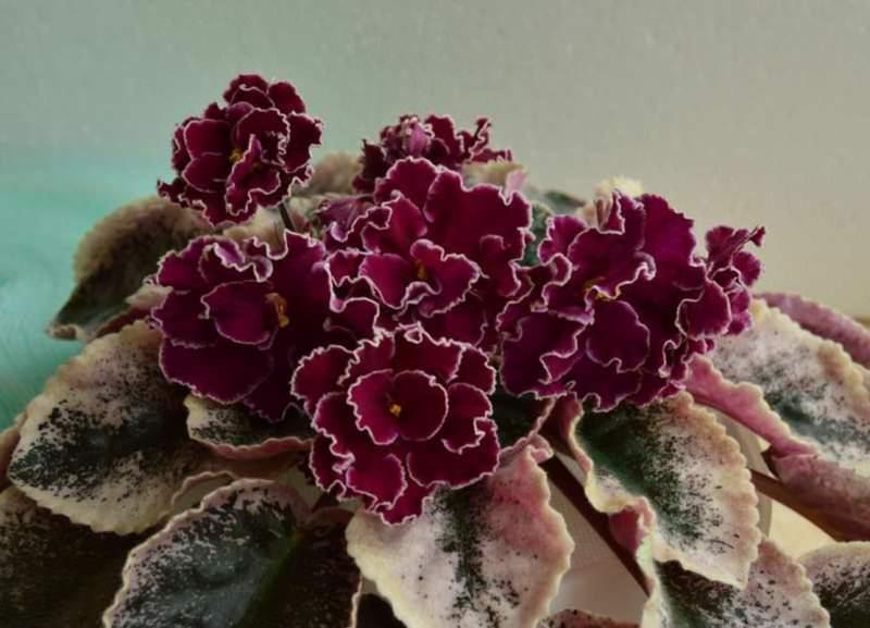 Махровые сенполии – лепестки в таких цветах образуют 2 и более полных рядов
