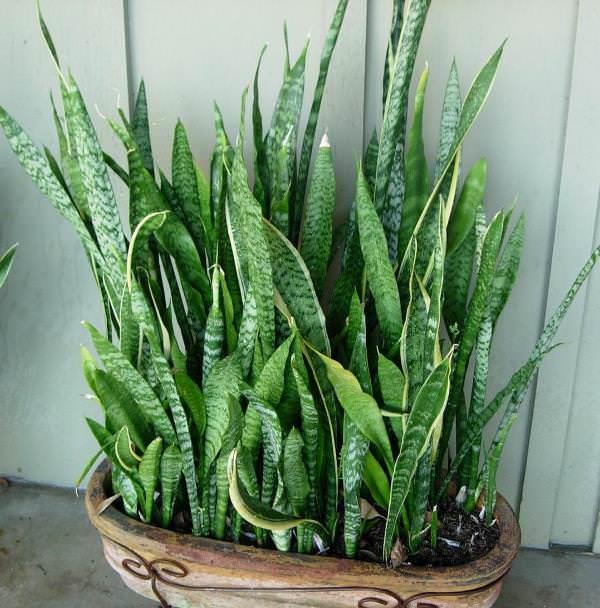 Так как большинство, часто выращиваемых видов сансивиерии, являются крупными растениями с длинными листьями, то для их посадки нужно выбирать достаточно устойчивый горшок