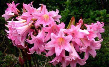 Амариллис белладонна завораживает взор шикарными цветами