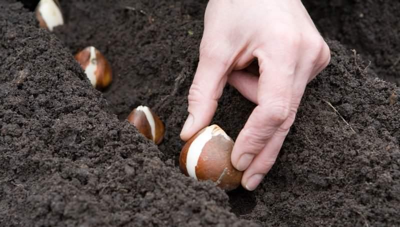 Самый легкий способ размножить амариллис – посадить дочерние луковицы или деленки