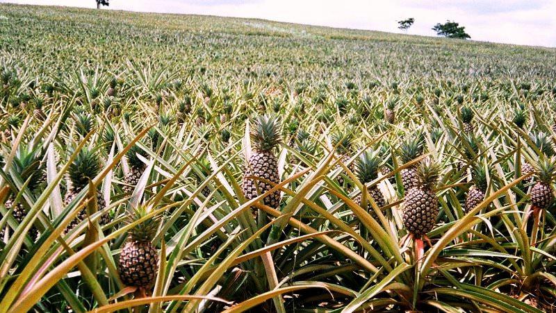 Чтобы увидеть, как растут ананасы, придется отправиться в одну из стран, расположенных в субтропической зоне нашей планеты