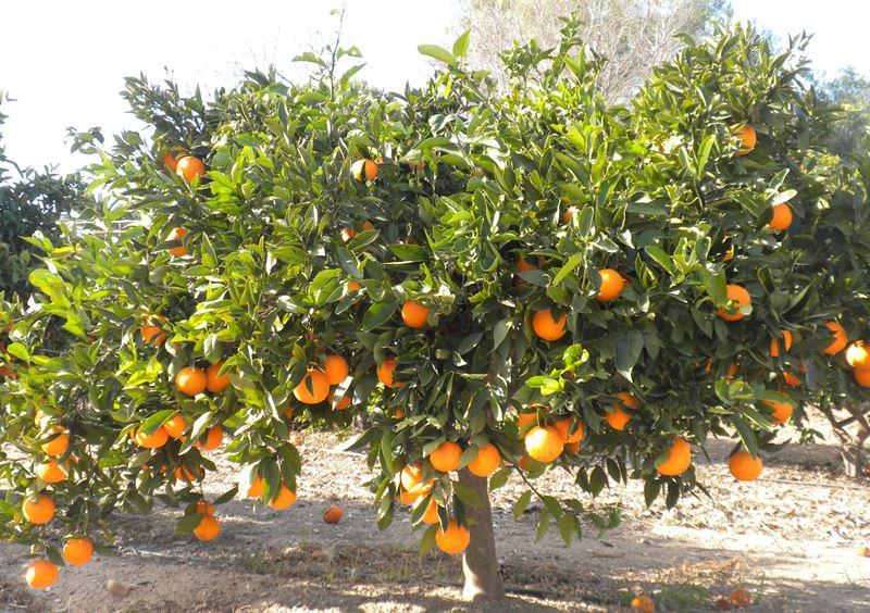Нужно защитить апельсиновое дерево от вредителей. Ему могут угрожать растительные клещи, трипсы, клопы-щитовки и даже тля