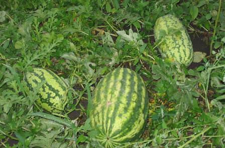 Выращивание арбузов в Подмосковье — задача непростая