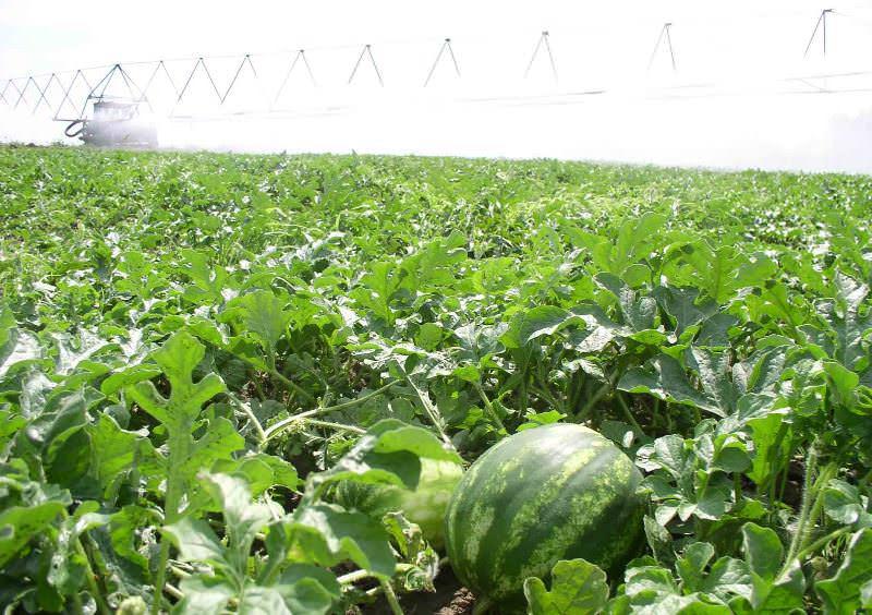 Астраханский арбуз обладает повышенной устойчивостью к большинству болезней характерных для бахчевых культур