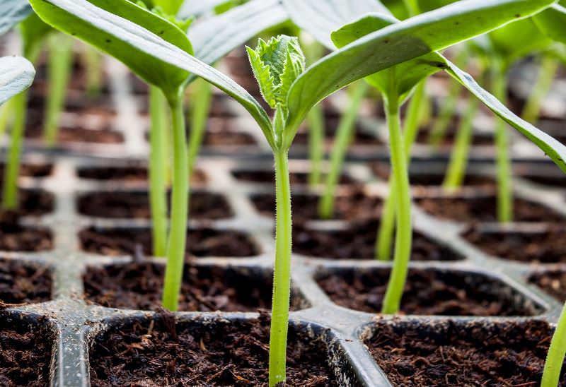 Самое главное при выращивании рассады арбузов поддерживать правильный температурный режим