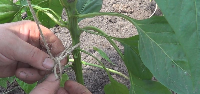 Высокие кусты нуждаются в подвязке, ветви обязательно укрепляйте опорами, иначе плоды могут упасть и повредиться