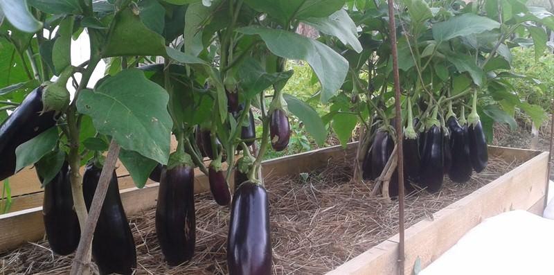 Выбирайте лучшие семена раннеспелых сортов, устойчивых к большинству садовых болезней