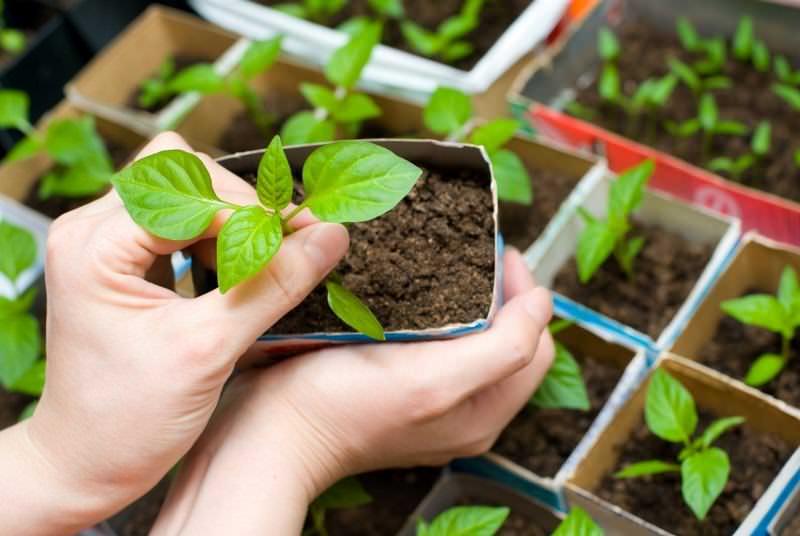 В среднем рассадный период у баклажанов длится 60 дней