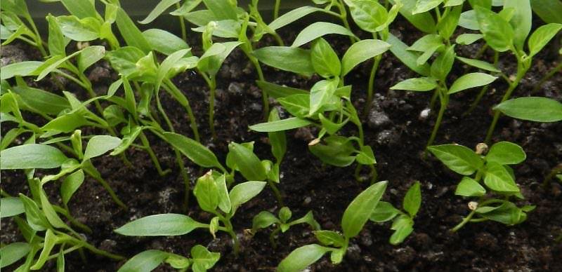 Выращивание рассады баклажан требует повышенного внимания.