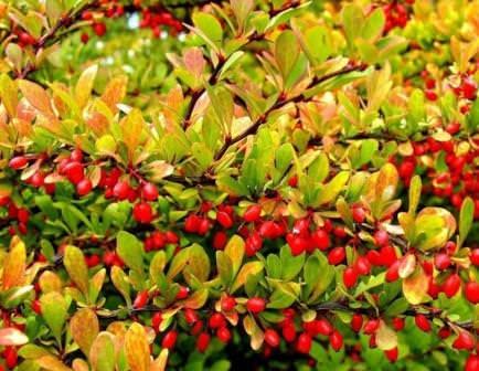 Многие садоводы выращивают барбарис Тунберга на своих участках не из-за ароматных плодов - они у него несъедобные