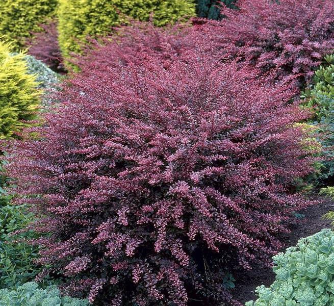 Большую декоративность кустарнику барбарис Тунберга Коронита придают заостренные ланцетовидные листки