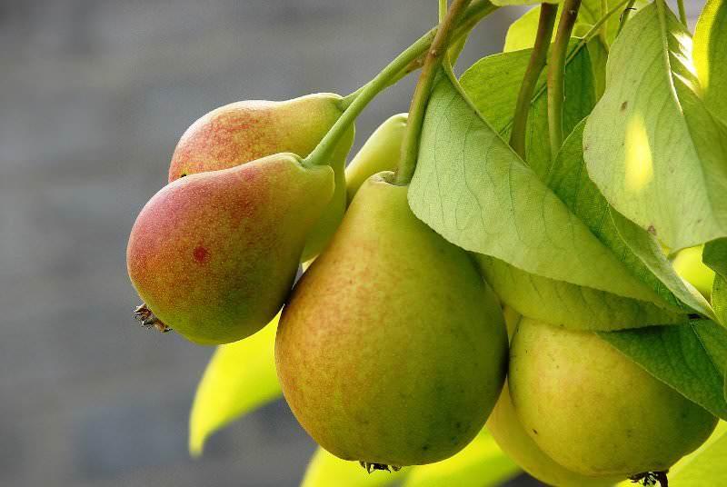 Бере люка – урожайный французский сорт