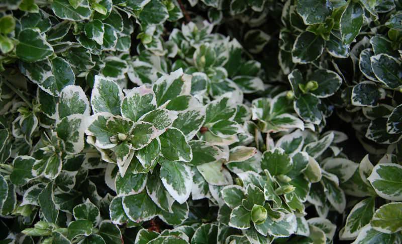 Бересклет Форчуна является ползучим видом растения