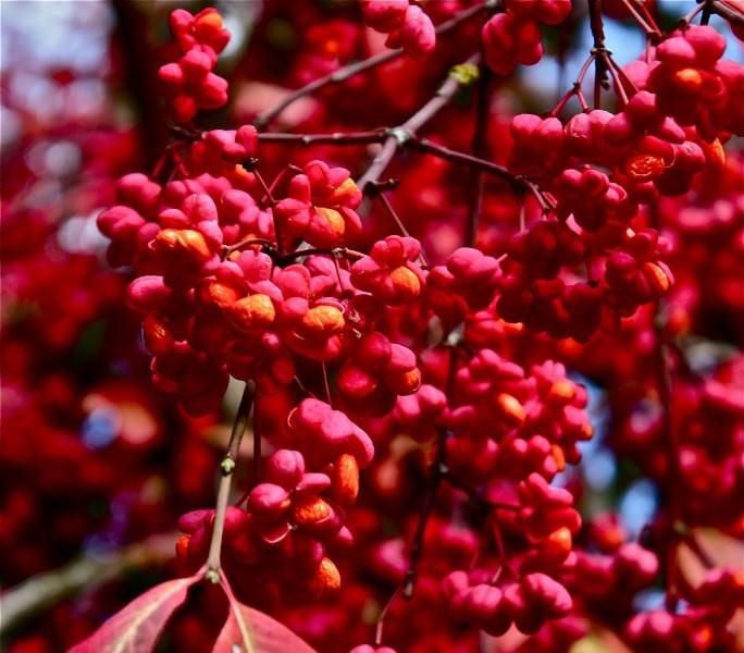 Бересклет размножается семенами, черенками и делением куста