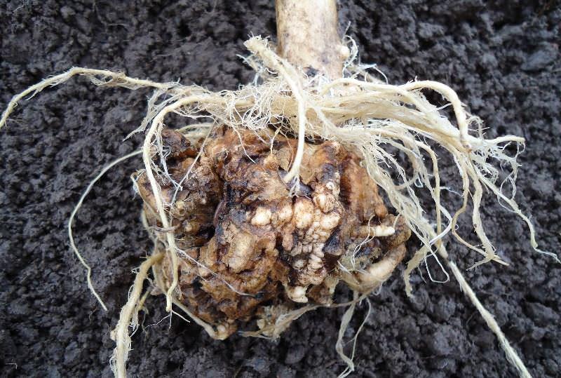 Кила – это грибковая болезнь, которая возникает по причине излишнего переувлажнения грунта