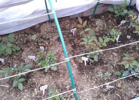 В открытом грунте черенкование лучше проводить летом, с мая по август