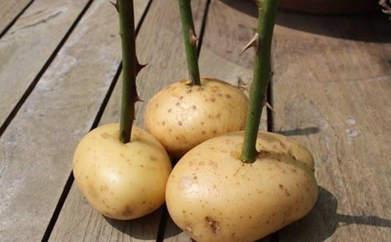 Разводить розы можно и с помощью картофеля