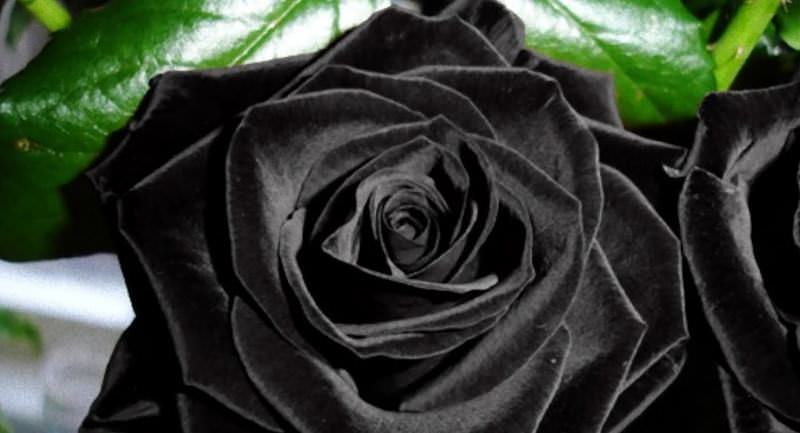 Черные розы отличаются высокой устойчивостью к заболеваниям и вредителям, обладают высокой морозоустойчивостью