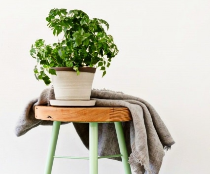 Радермахера является вечнозеленым деревом