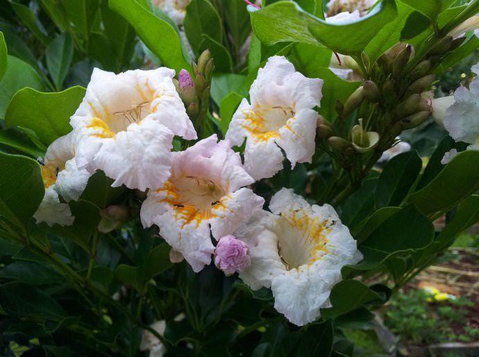 Радермахера относится к быстрорастущим, неприхотливым растениям