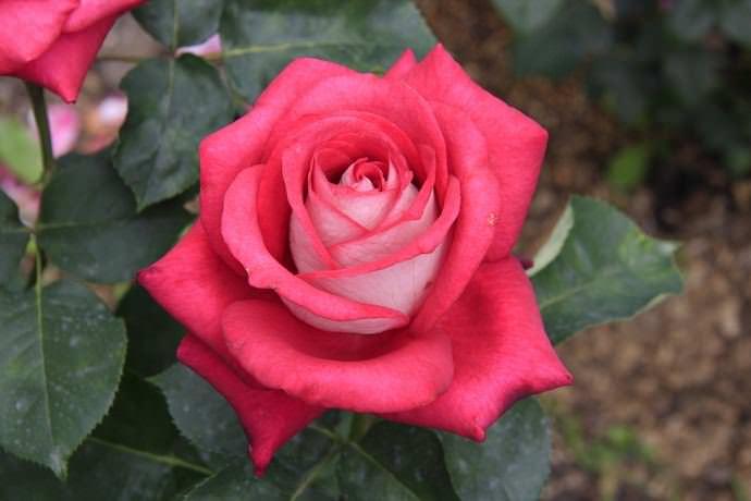 Розы сорта Моника не требуют тщательного ухода
