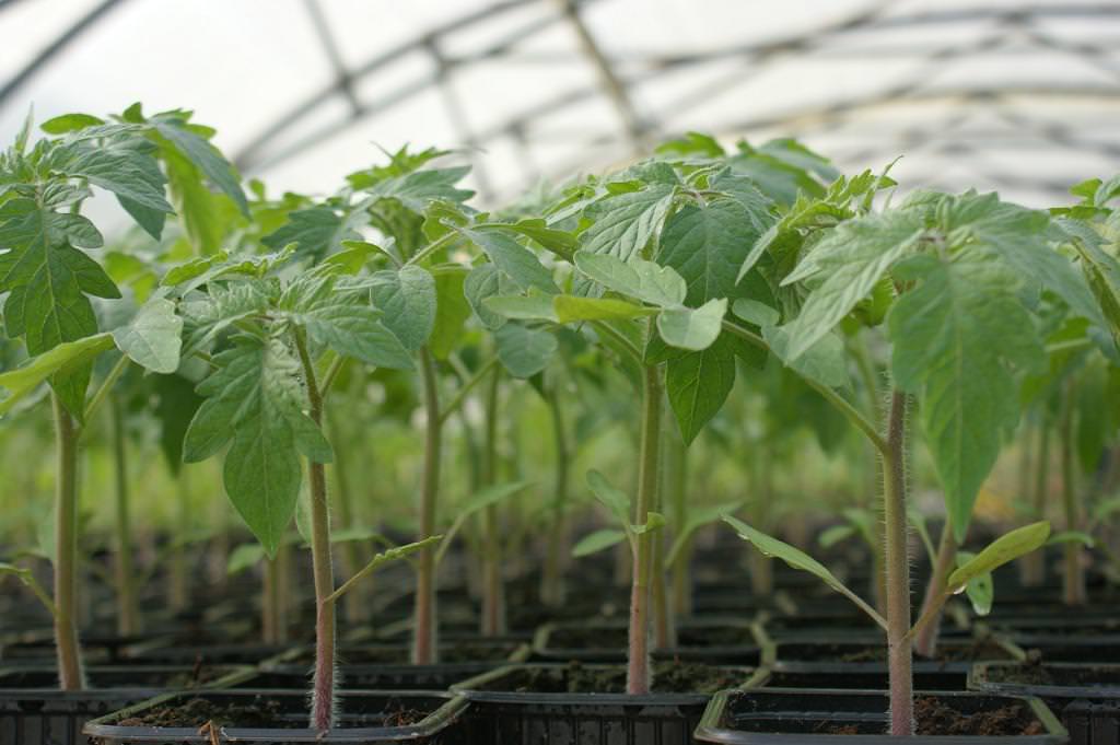 Выращивать томаты Верлиока лучше всего рассадным способом